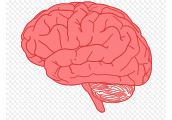 Is our brain growing?