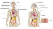 ¿ Cuáles son las partes del sistema endocrino ?