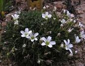 southwest region flower