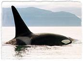 Wild orcas have straight dorsal fins