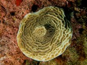Saucer coral