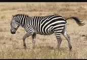 And a Zebra