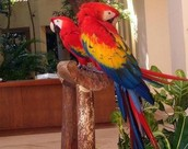 !Scarlet Macaw Now Available!