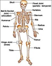 What is Homeostasis and The skeletal system