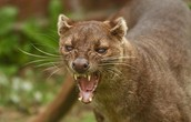 Fossa Ready To attack