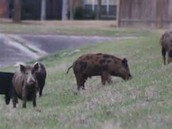 Hogs on land