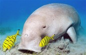 Dugong with fish