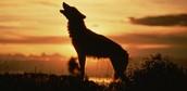 los lobos aullan? (sin leyendas)