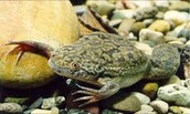 South African frog (Xenopus laevis)