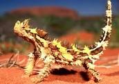 Thorny Dragon