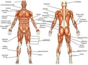 The Organs That Make Up The Muscular System
