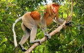 Proboscious Monkey