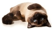 Fun facts about Siamese cats!