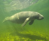 This is a manatee that was saved and now swimming free!