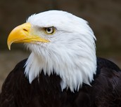 The bald eagle is staring