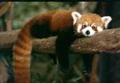 Facts about red panda
