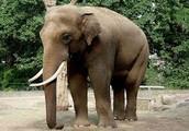 Asia Elephants