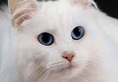 What is Deaf White Cat Syndrome?
