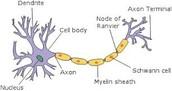 Nervous tissue function