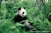 Giant Panda Feeding on Vegetation