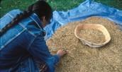 The ojibwe wild rice harvest procces