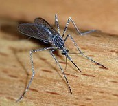 this is how you get malaria