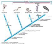 Earthworm Cladogram