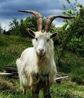 Irish goat