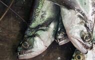 Vampire Fish