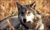 The wolf is a Carnivore