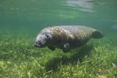 A manatee in it's grassy habitat