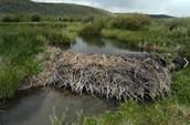 Beaver Dams