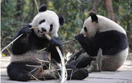 Panda Walk Tour