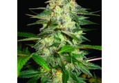 The Autoflowering Seeds - High Quality Seeds