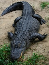 This is a alligator and i want to talk about them