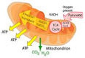 Mitochondia