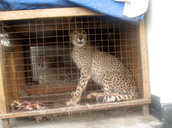 Cheetah in a cage
