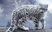 What does a snow leopard look like?