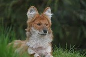 eastern asian dhole