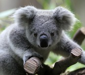 koalas are active