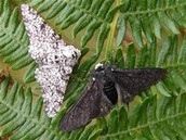 What is the Peppered Moth?