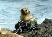 seal stuck in a net