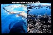 Oil Spills Kill Coral Reefs