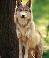 mexivan wolf