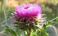 The Thistle Is  Scotland's Flower