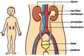 De bouw en ligging van de nieren en urinewegen