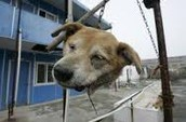 This dog was hung and his head was cut off