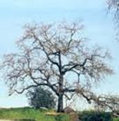 DECIDOUS TREE