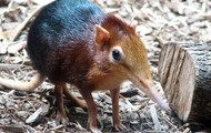 Golden-Rumped Elephant Shrew