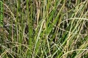 Esparto grass